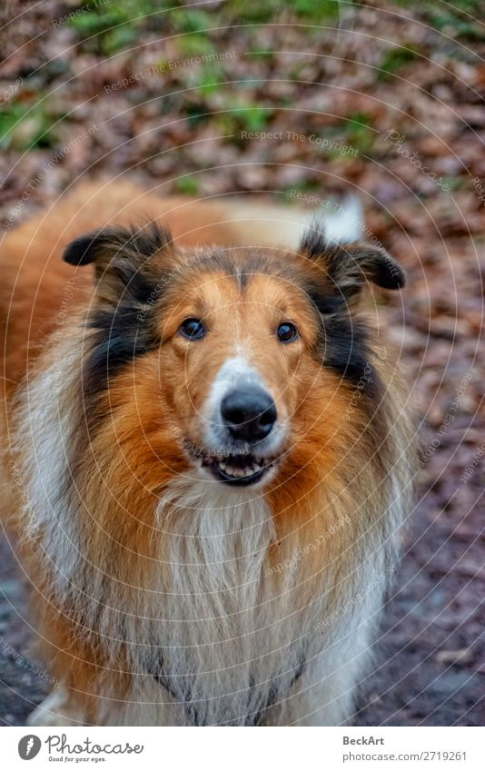 American Longhair Collie Nature Animal Pet Dog Animal face 1 Old Elegant Friendliness Large Cuddly Thin Blue Red Black White Power Willpower Attentive