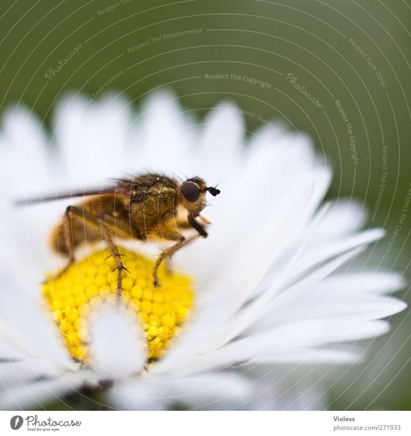 Animal Blossom Fly Near Daisy