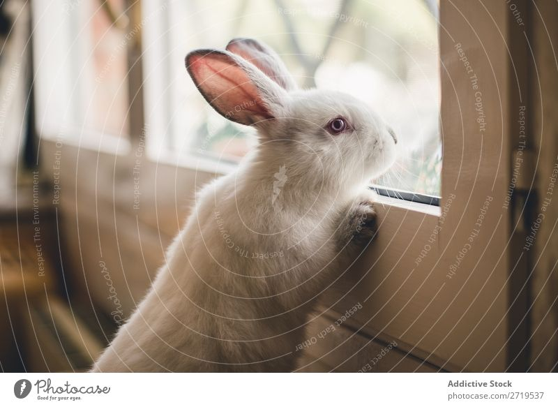 White little bunny looking at window Hare & Rabbit & Bunny Cute Lean Window Delightful Animal