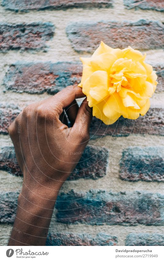 Woman hands holding a yellow rose flower Rose Flower Yellow Nature Feasts & Celebrations Consistency Gift Ethnic Hold Background picture Considerate Love