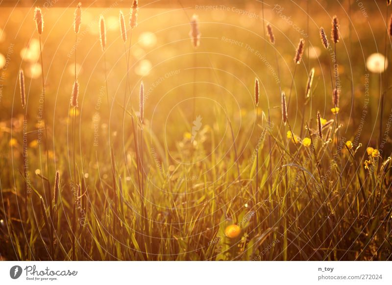 uncut Environment Nature Landscape Sun Spring Beautiful weather Grass Meadow Blossoming Fragrance Warmth Yellow Gold Green Orange Red Moody Idyll Calm