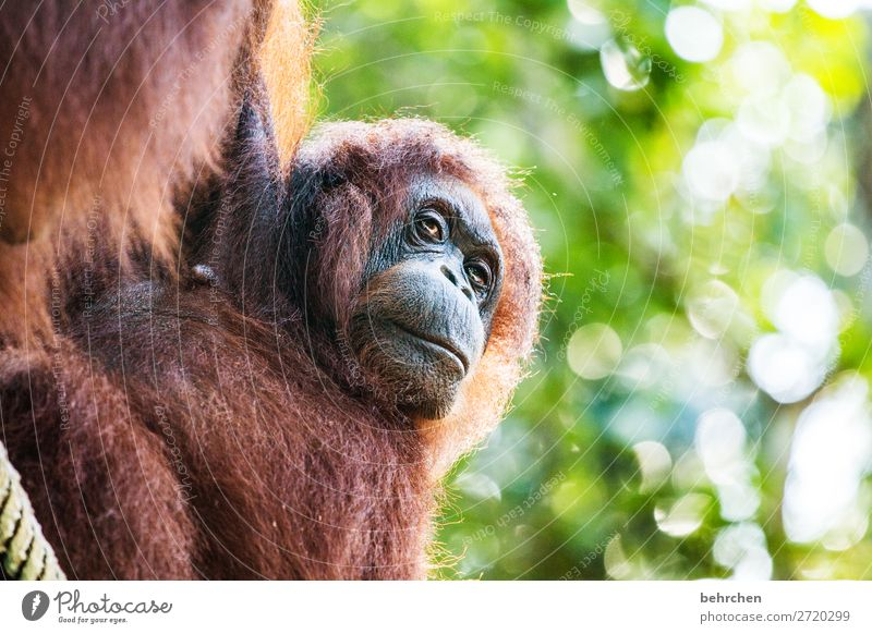 Valuable animals of this world. Vacation & Travel Tourism Trip Adventure Far-off places Freedom Nature Virgin forest Wild animal Animal face Pelt Orang-utan