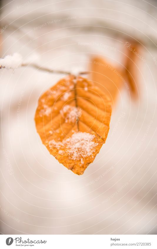Beech leaf in the snow Winter Nature Climate Snow Tree Brown White Alpina snowcap Leaf saccharified Season snowy Colour photo Exterior shot Close-up Deserted