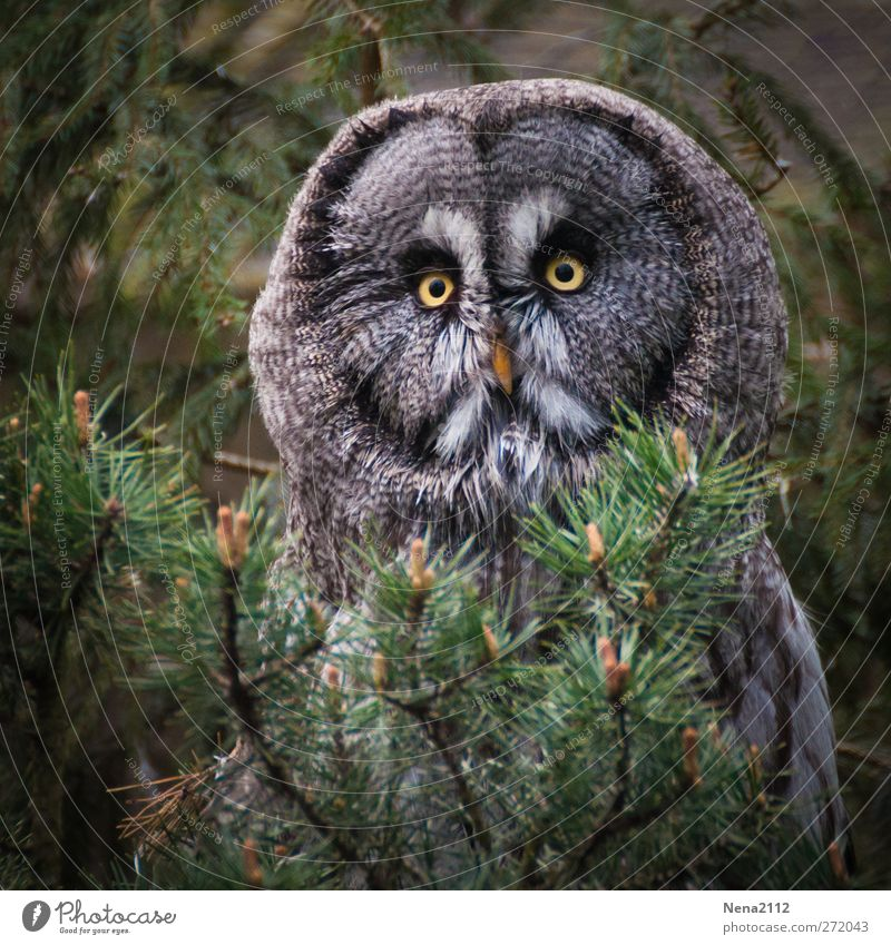 Chouette! Animal Wild animal Bird Animal face 1 Observe Sit Creepy Round Gloomy Brown Green Feather Looking Hiding place Sadness Colour photo Exterior shot