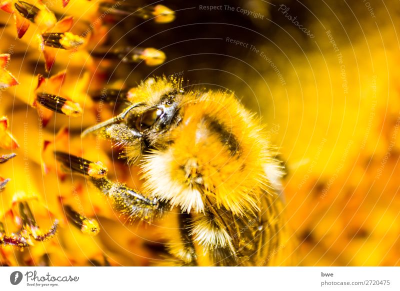 Bumblebee on flower Environment Nature Plant Animal Blossom bumblebee insect 1 Yellow Orange Love of animals Success Animal Themes Animals in the Wild