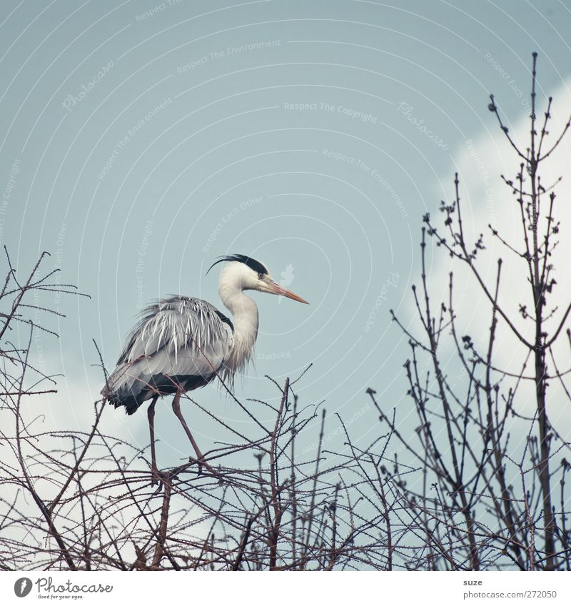 Herons from a standing position Environment Nature Animal Elements Air Sky Clouds Spring Beautiful weather Wild animal Bird 1 Stand Thin Bright Natural Gray