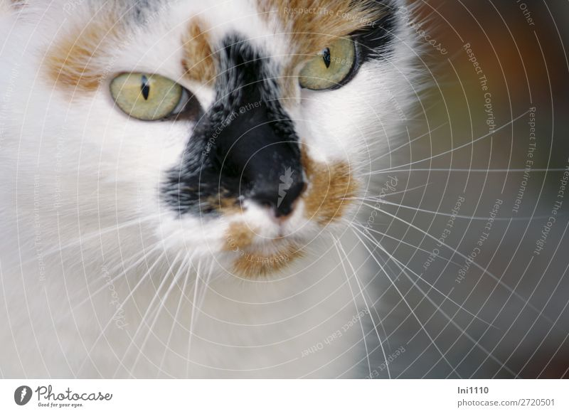 Cat Green White Animal Black Happy Brown Gray Pet Pelt Watchfulness Animal face Tension Whisker Cat eyes Fix