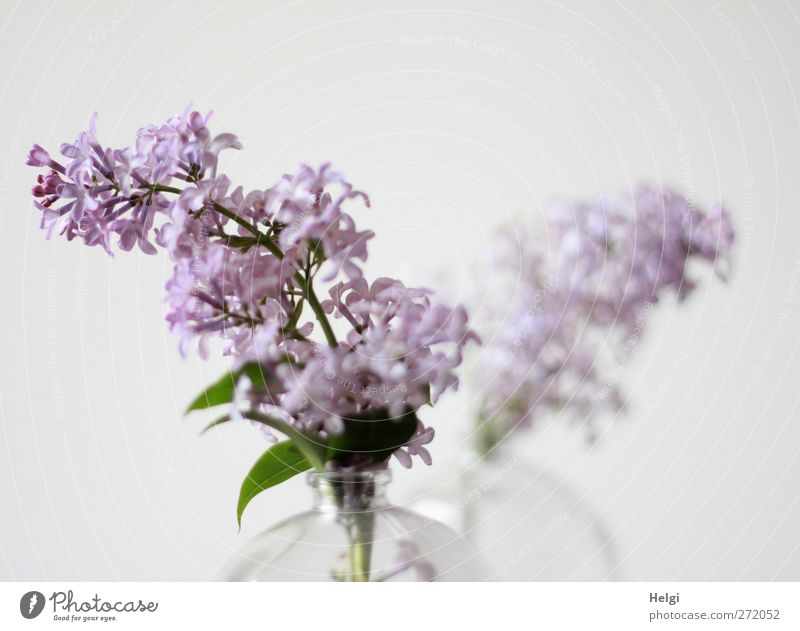 spring blossom... Plant Spring Flower Leaf Blossom Lilac Panicle blossom Vase Glass Blossoming Fragrance Living or residing Esthetic Simple Beautiful Green