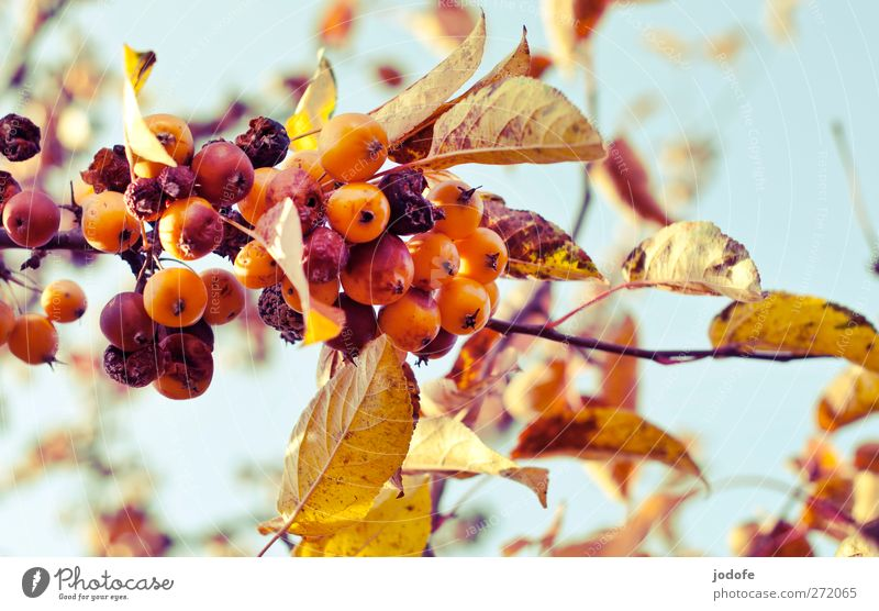 Nature Plant Heaven Flower Environment Autumn Fruit Gold Branch Putrefy Twig Apple Hang Autumn leaves Mature Blue sky