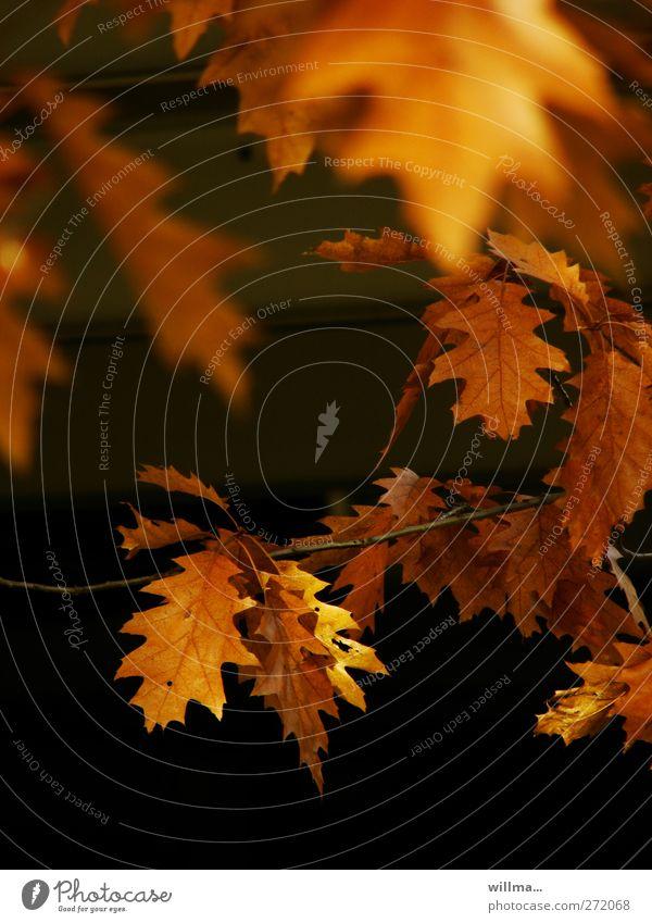 Nature Plant Leaf Black Autumn Brown Orange Twig Autumn leaves Autumnal Oak tree Oak leaf