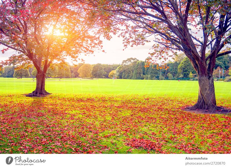 Sunset in autumn Beautiful Environment Nature Landscape Plant Sky Autumn Tree Leaf Park Forest Fresh Bright Natural Brown Yellow Gold Red Colour background