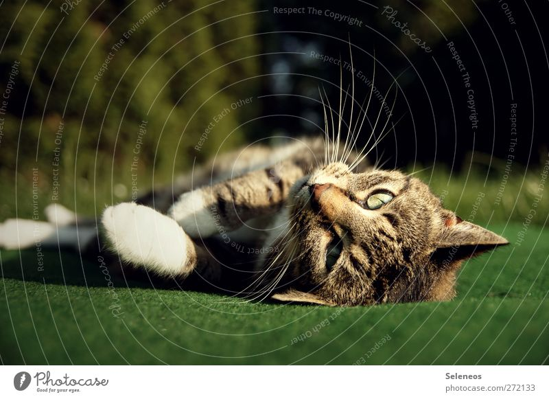 Come on, scratch me. Summer Sun Sunbathing Environment Nature Spring Beautiful weather Plant Garden Park Meadow Animal Pet Cat Animal face Pelt Paw 1 Lie Cuddly