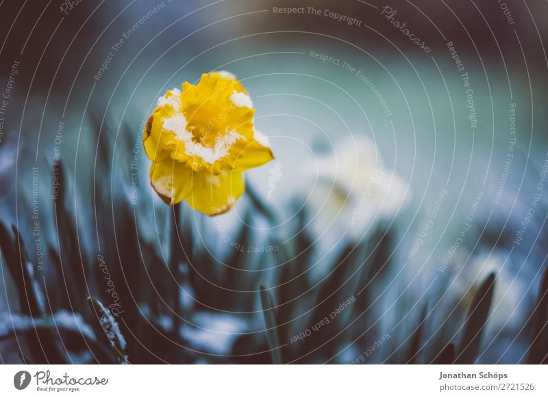 Spring awakening flower grows out of the snow Relaxation Winter Snow Garden Ice Frost Flower Blossom Growth Cold Yellow April Blossoming Spring flower
