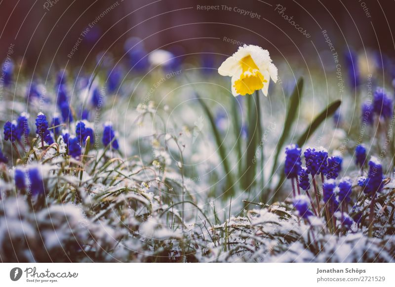 Narcissus in the snow between winter and spring Relaxation Winter Snow Garden Spring Ice Frost Flower Blossom Growth Cold Blue Yellow Violet April Thuringia