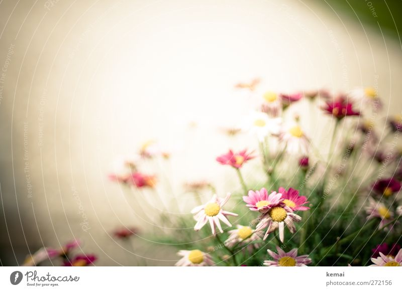 Nature White Plant Summer Flower Leaf Environment Blossom Garden Park Pink Growth Bushes Beautiful weather Blossoming Marguerite