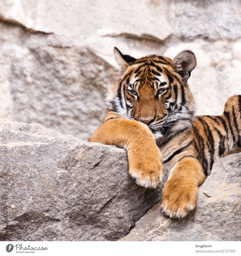 Tiger II Zoo Animal Wild animal 1 Observe Lie Yellow Gold Gray Black Attentive Watchfulness Patient Calm Colour photo Exterior shot Deserted Neutral Background
