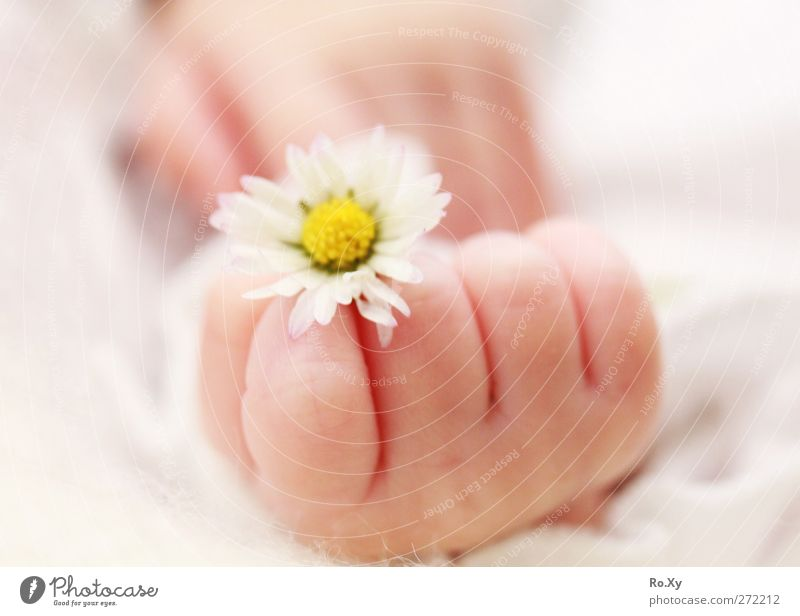 Baby hand with daisy Human being Child Toddler Girl Skin Hand Fingers 1 0 - 12 months Flower Happy Contentment Trust Warm-heartedness Love Daisy baby skin
