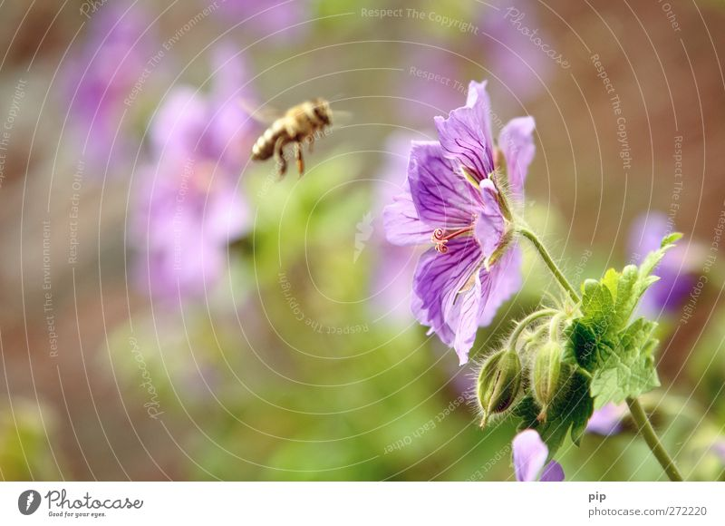 pollen(an)flight Nature Plant Summer Beautiful weather Flower Leaf Blossom Geranium Pollen Bee Insect Honey bee 1 Animal Work and employment Flying Violet