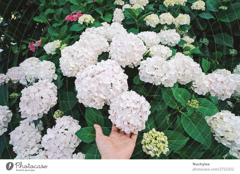 Hand holding beautiful hydrangea bloom in the garden Nature Summer Plant Beautiful Green White Flower Leaf Autumn Blossom Garden Bright Park Fresh Growth