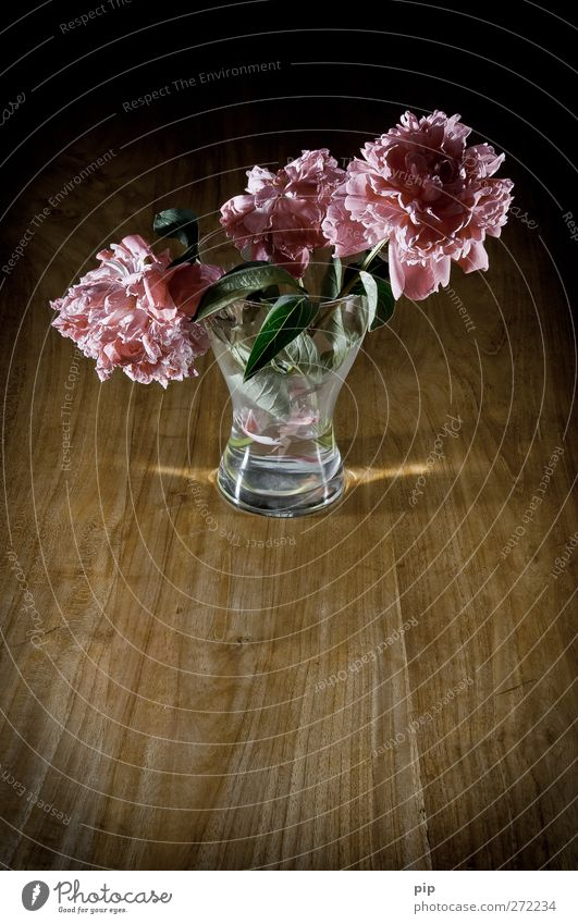 Withered Flower Leaf Blossom Peony Flower vase Wood Glass Old Esthetic Sadness Grief Transience Limp Faded Pink Dark Still Life Calm Delicate Colour photo