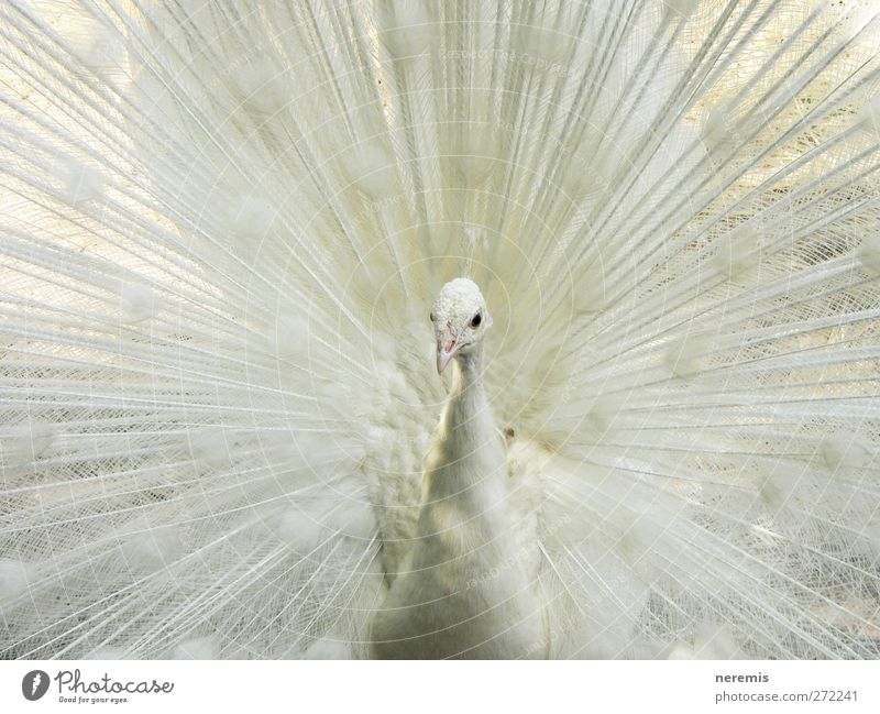 white peacock Animal Wild animal Bird Animal face Wing Zoo 1 Rutting season Observe Esthetic Exceptional Elegant Exotic Bright Beautiful Natural Positive White