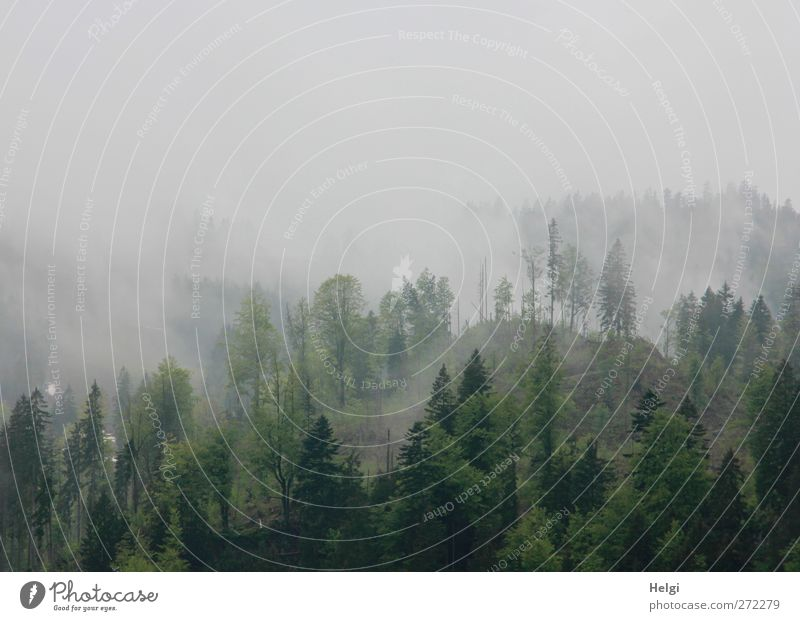 plane fog Environment Nature Landscape Plant Spring Fog Tree Mixed forest Spruce Beech tree Forest Mountain Stand Growth Exceptional Dark Tall Cold Wet Natural