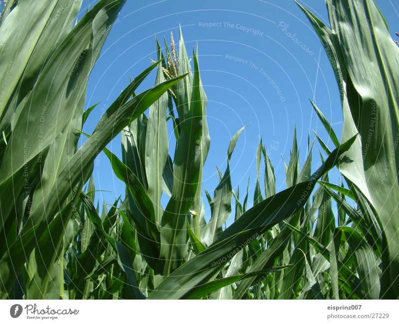 corn field Maize nachos Mexico green leaves Blue sky