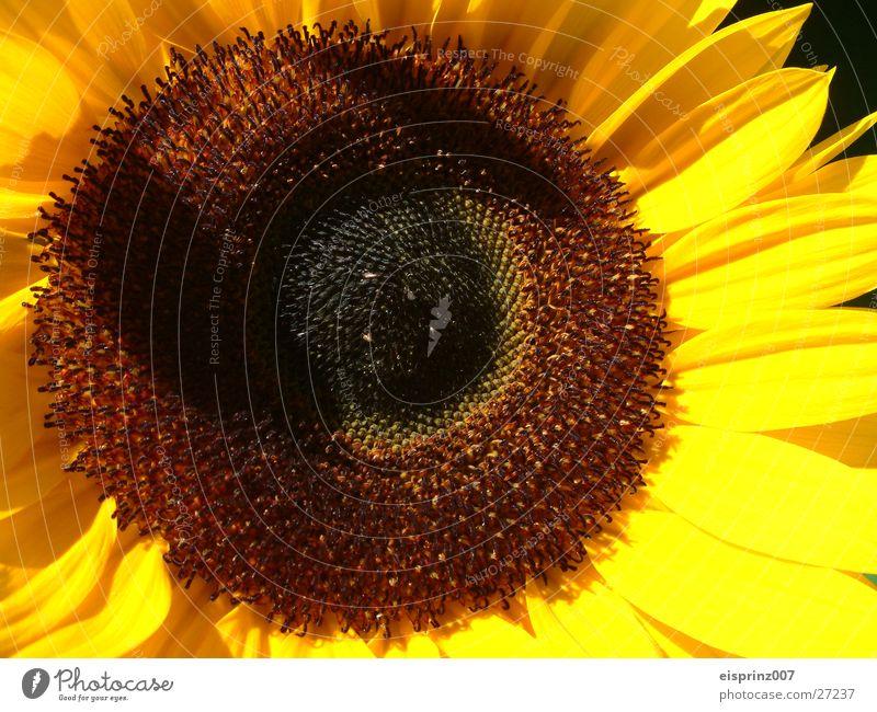 sunflower Sunflower Summer Spring Bee Kernels & Pits & Stones