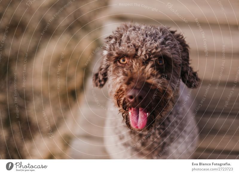 cute brown spanish water dog sitting on floor. Outdoors Lifestyle Joy Winter Camera Nature Animal Autumn Park Clothing Pet Dog Sit Stand Small Modern Cute Brown