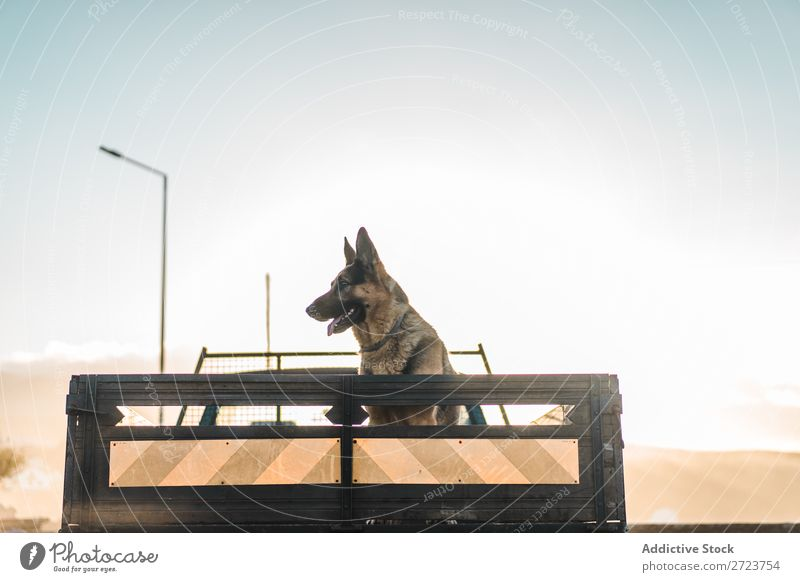 Big dog riding in pickup trunk Dog Car Sit Trunk Pick-up truck Pet Animal Summer Vehicle Cute Vacation & Travel Transport big Shepherd Domestic Azores Trip