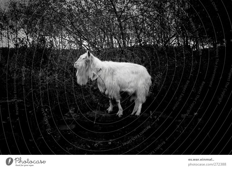 Moo makes the cow He-goat 1 Animal Stand Stupid Goats Pelt Wild animal Black & white photo goat's beard