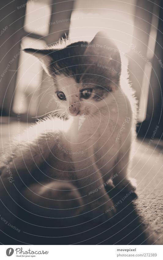 Cat Animal Baby animal Sit Cute Pelt Discover Pet Cuddly Kitten