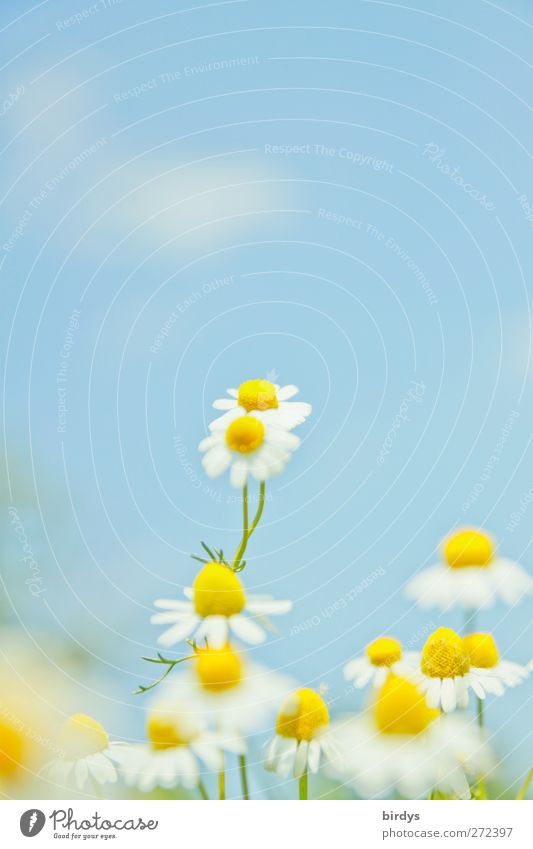 Sky Nature Blue Beautiful White Plant Summer Flower Clouds Yellow Spring Blossom Healthy Bright Illuminate Beautiful weather