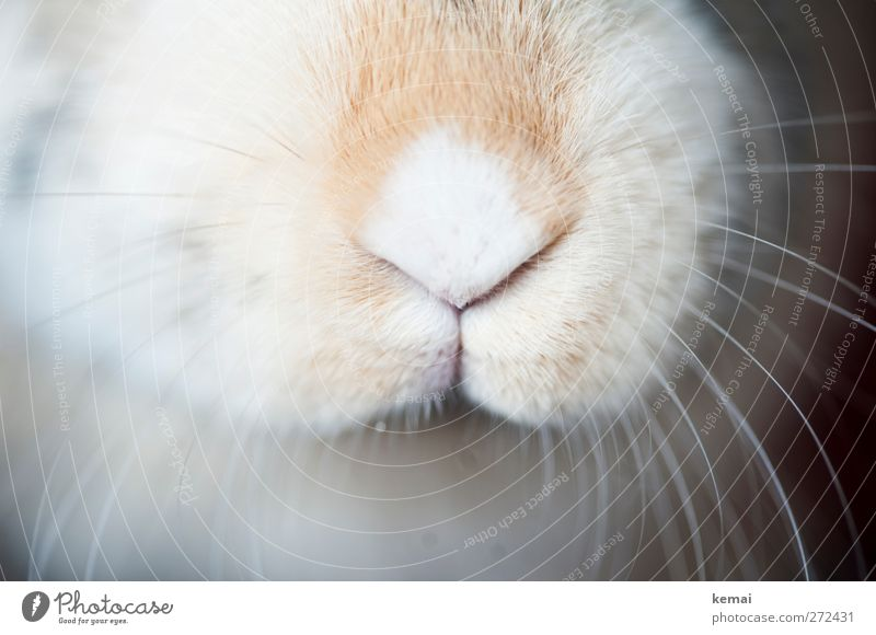 hare nose Animal Pet Animal face Pelt Hare & Rabbit & Bunny Pygmy rabbit Nose Beard hair Whisker 1 Bright Near Cute Soft pale Colour photo Subdued colour