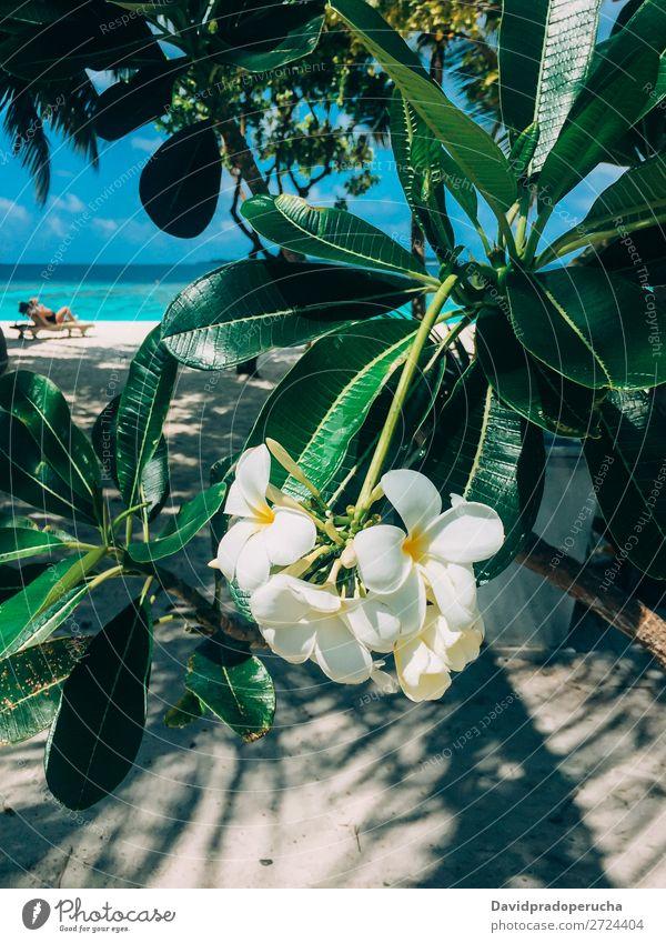 Maldives island plumeria frangipani tree flower in a luxury resort Flower Frangipani Beach Vacation & Travel Lagoon Resort