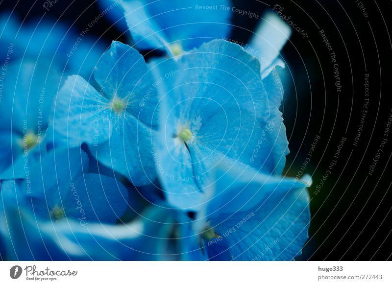 Plant Blue Flower Black Blossom Loyalty Hydrangea Hydrangea blossom Hydrangea leaf