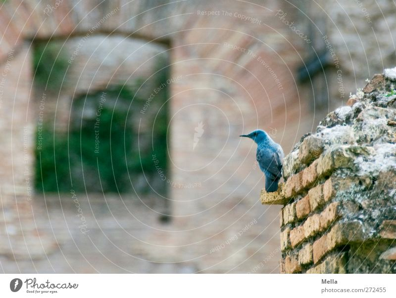 Today the merle is blue Environment Animal Wall (barrier) Wall (building) Wild animal Bird Blue Rock Thrush 1 Crouch Looking Sit Small Natural Curiosity Cute