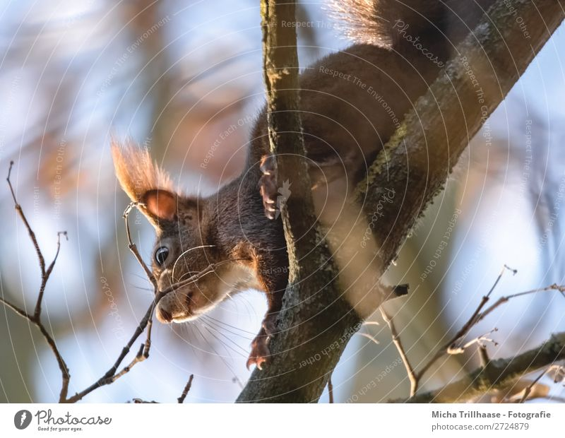 Squirrels in the tree Environment Nature Animal Sky Sunlight Beautiful weather Tree Branch Wild animal Animal face Pelt Claw Paw Ear Nose Eyes Muzzle 1 Crawl