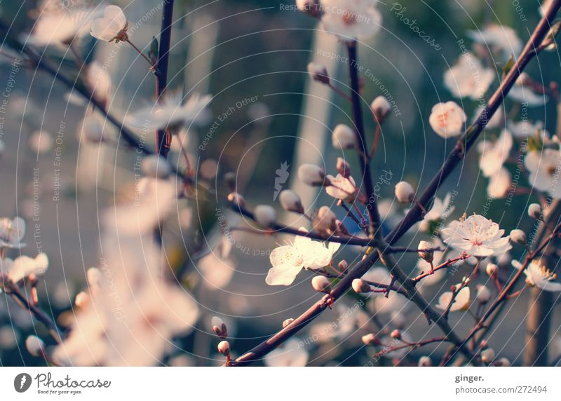 Nature Tree Plant Environment Spring Blossom Growth Many Blossoming Muddled Bud Blossom leave Agricultural crop Filter
