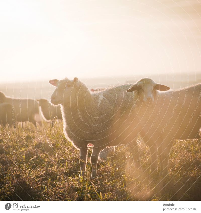 Sheep in the light Nature Animal Farm animal Herd Friendliness Sunlight Warmth Meadow Colour photo Exterior shot Evening Light