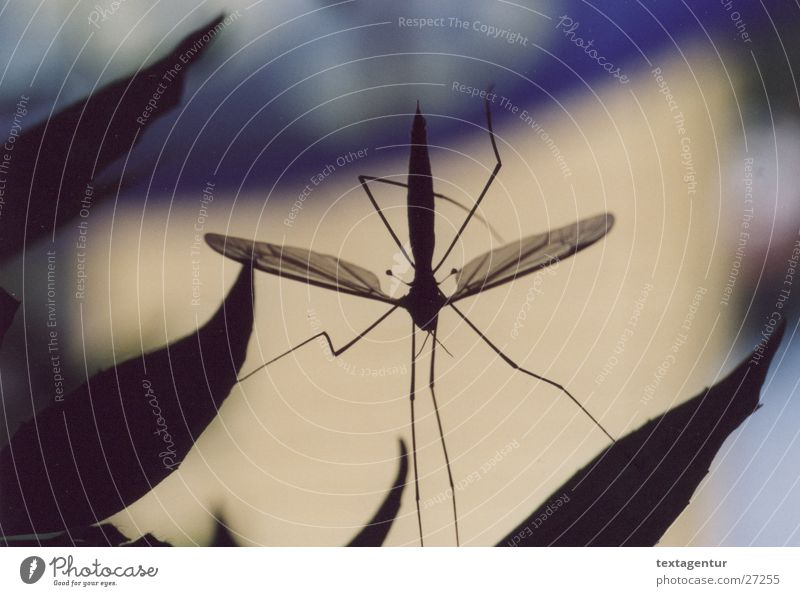 mosquito Crane fly Black Insect Transport Close-up Garden Blue