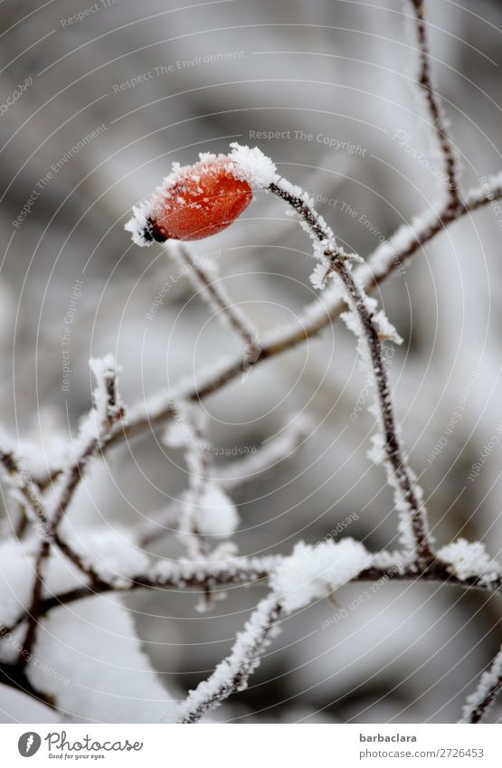 Nature Plant Red Loneliness Winter Environment Cold Snow Fruit Moody Illuminate Ice Bushes Climate Change Frost