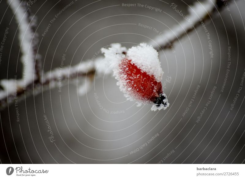 Rose hip with white hat Fruit Plant Winter Ice Frost Snow Bushes Hang Illuminate Healthy Cold Red White Moody Climate Power Nature Survive Environment