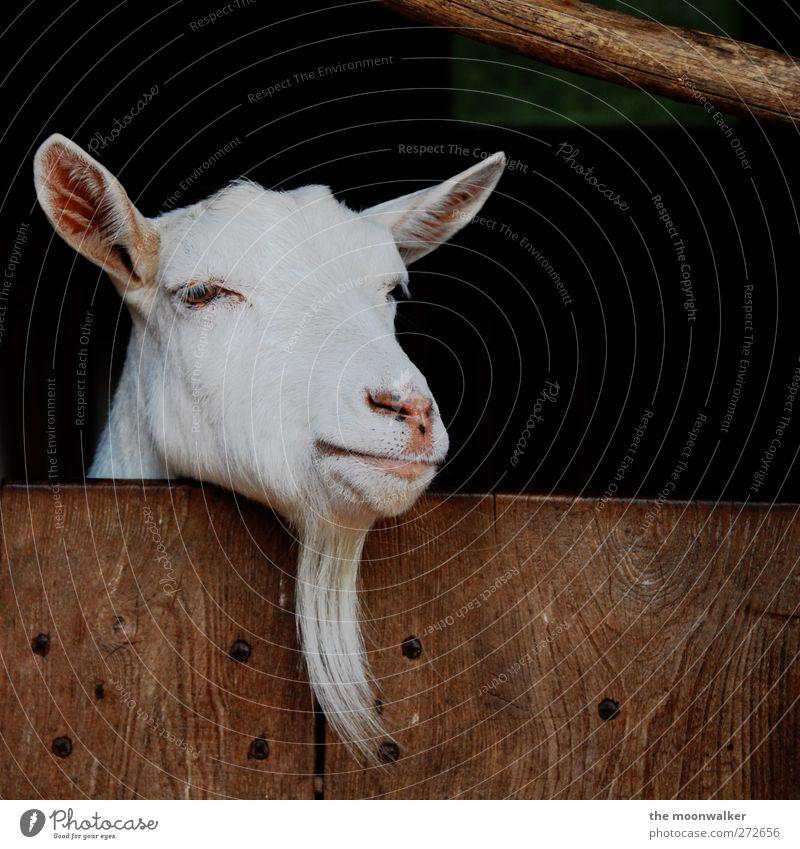 White Animal Think Brown Pink Cute Curiosity Pelt Animal face Facial hair Know Wisdom Farm animal Goats Human being Goatee