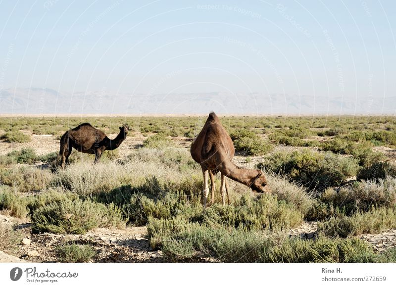 Camelus Dromedarius Nature Landscape Sky Horizon Grass Steppe Tunisia Farm animal 2 Animal Observe To feed Dry Warmth Blue Brown Green Vacation & Travel