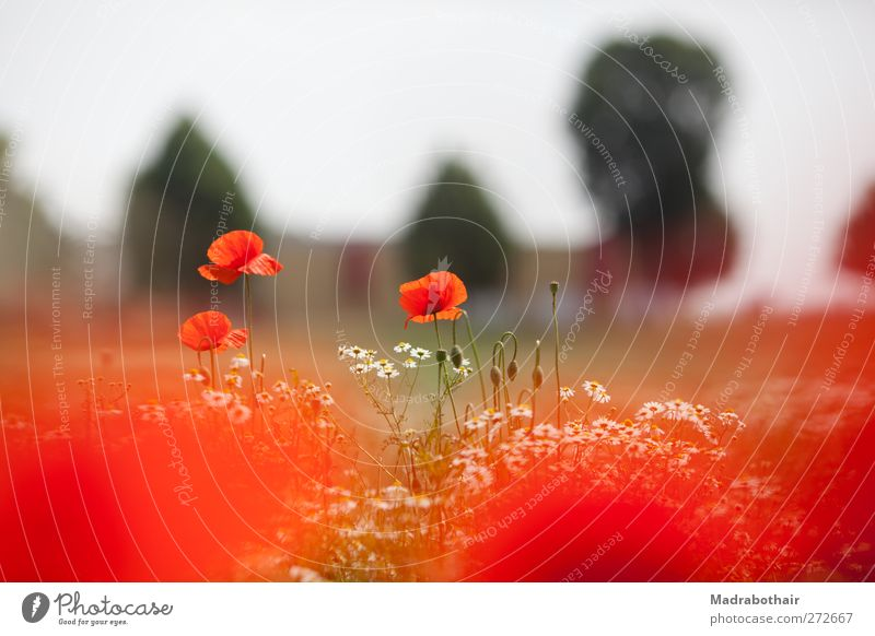 Poppy seed and chamomile Nature Landscape Plant Sky Summer Beautiful weather Flower Blossom Poppy blossom Chamomile Camomile blossom Meadow Field Natural Red