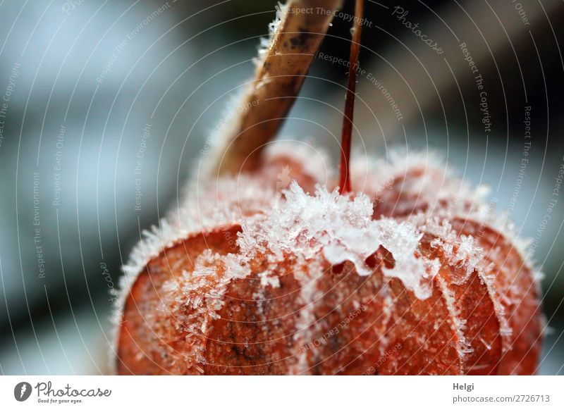 Detail of an orange lampion flower covered with ice crystals Environment Nature Plant Winter Ice Frost Physalis Chinese lantern flower Stalk Garden Freeze Hang