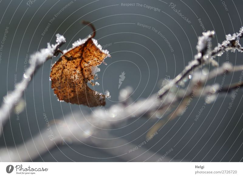 a wilted leaf on a branch with ice crystals Environment Nature Plant Winter Ice Frost Bushes Leaf Twig Park To hold on Freeze Glittering Hang To dry up