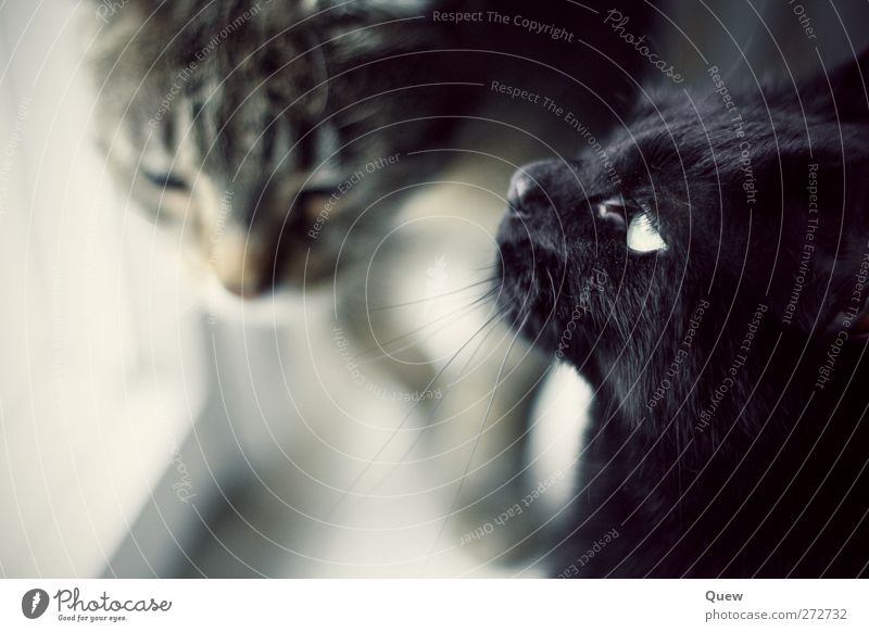cat meeting place Animal Pet Cat 2 Pair of animals Observe Looking Dream Gray Black Interest Far-off places Colour photo Interior shot Day Blur