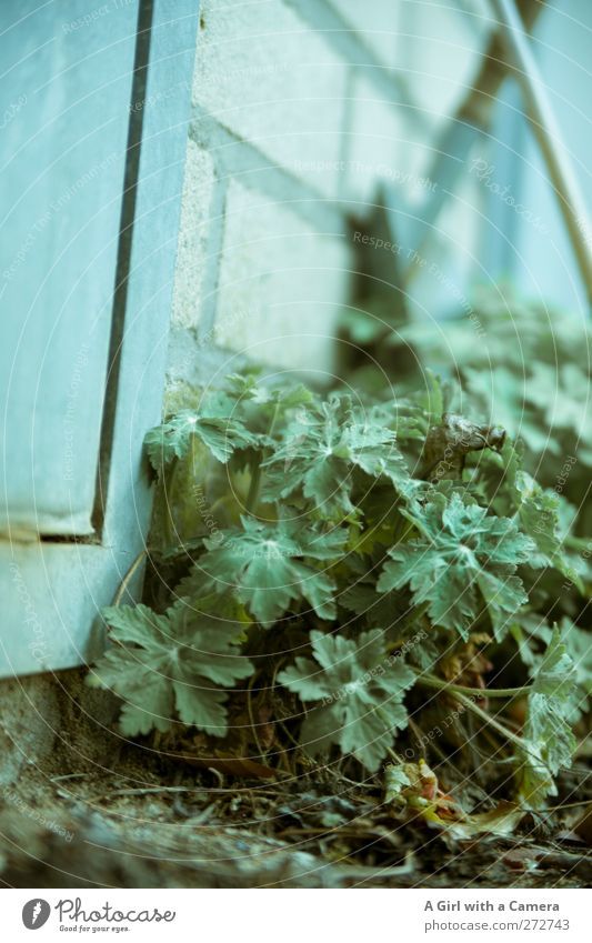 on the ground Garden Environment Nature Plant Wild plant Growth Authentic Fresh Beautiful Blue Turquoise Harmonious Wall (building) Untidy Chaos Colour photo